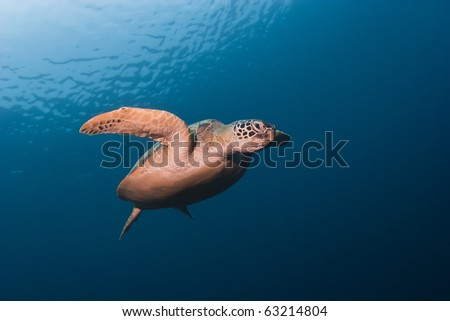 Sea turtle swimming underwater on blue water background