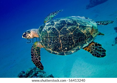 Sea turtle swims in blue underwater