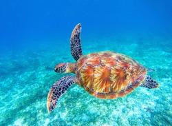 Sea turtle swims in sea water. Big green sea turtle closeup. Wildlife of tropical coral reef. Tortoise undersea. Tropic seashore ecosystem. Big turtle in blue water. Aquatic animal underwater photo