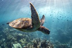 Sea Turtle swims through school of fish, Ningaloo reef, Western Australia