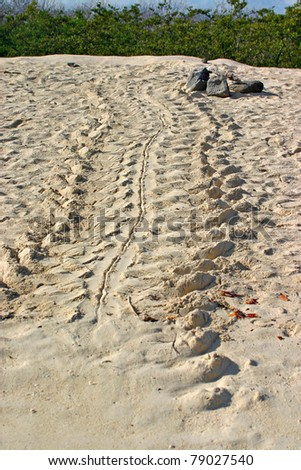 Sea turtle tracks on sandy beach in Galapagos