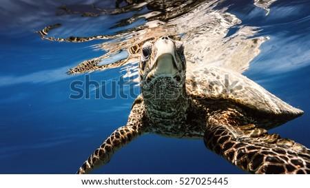Stock Photo Sea turtle underwater
