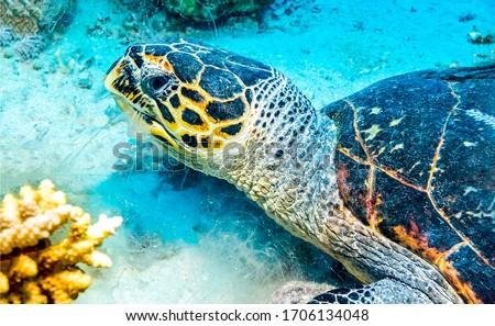 Sea turtle underwater close view. Underwater sea turtle view. Sea turtle underwater