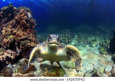 Sea turtle underwater in volcanic reef lagoon, Galapagos Islands