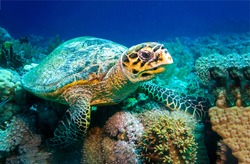 Sea turtle underwater scene. Underwater sea turtle