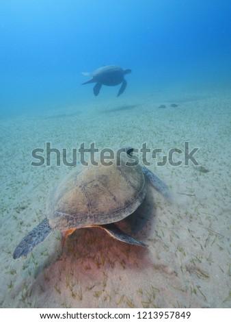 sea turtle underwater swim and eat in blue water sandy bottom  #1213957849