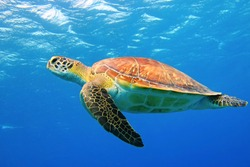 Sea turtle underwater swimming in the blue sea. Vivid blue ocean with turtle. Scuba diving with wild aquatic animal.