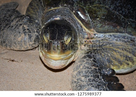 sea turtles at sharma beach, killed by humans in yemen  #1275989377
