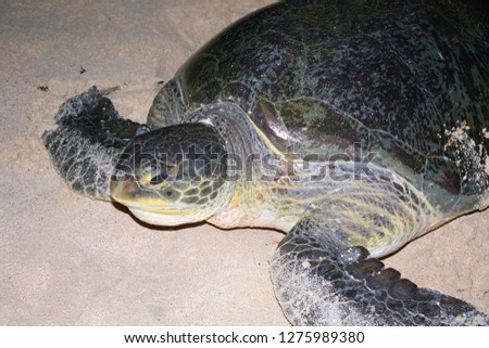 sea turtles at sharma beach, killed by humans in yemen  #1275989380
