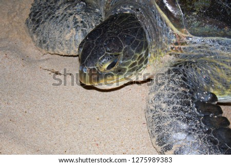 sea turtles at sharma beach, killed by humans in yemen  #1275989383