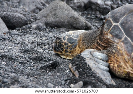 Sea turtles (Chelonioidea), sometimes called marine turtles, are reptiles of the order Testudines. Stockfoto ©