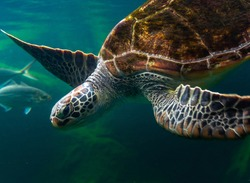 Sea turtles in the deep sea, a rare conservation animal that is abundant in Asia.