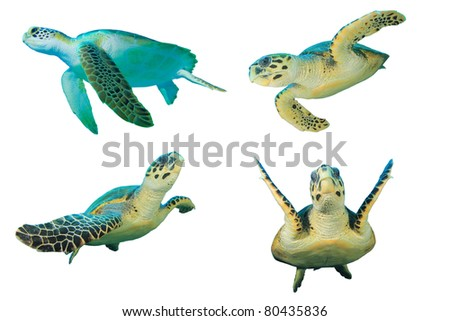 Sea Turtles on White Background. Top left is a Green Turtle (Chelonia mydas), other three are Hawksbill Turtles (Eretmochelys imbricata)