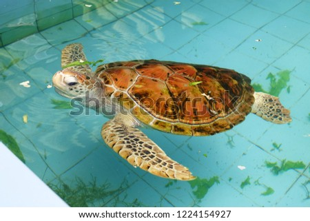 Sea turtles swim in the ponds of the Thai Turtle Conservation Center. #1224154927