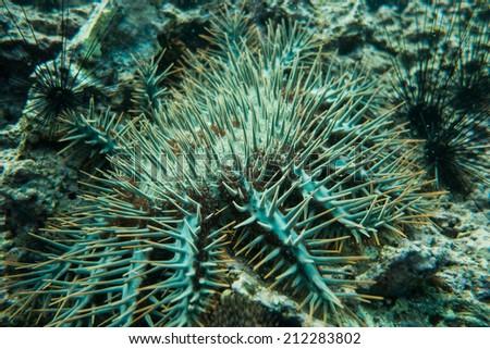 Sea urchin #212283802