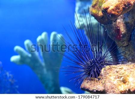 Sea urchin Diadema setosum on a stone in a marine aquarium in Sochi, Russia