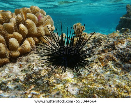 Sea urchin Echinothrix diadema, commonly called diadema urchin or blue-black urchin, underwater in the lagoon of Moorea, Pacific ocean, French Polynesia