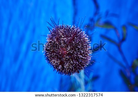 Sea urchin in aquarium in Barcelona, ​​Spain. stock photo