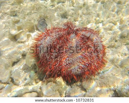 sea-urchin in the Red sea