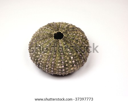 White sea urchin shell - photo#23