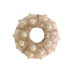 sea urchin skeleton isolated on white background