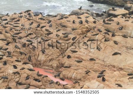 Sea wolves and sea lions, Cabo Polonio, Uruguay