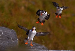 Seabird from auk family, Fratercula arctica, Atlantic puffins landing on  a grassy cliff. Motion study.  Wildlife photo. Ireland.