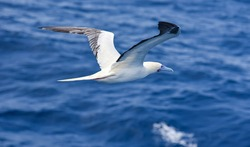 Seabird Masked, Blue-faced Booby (Sula dactylatra) flying over the blue, calm ocean. Seabird is hunting for flying fish jumping out of the water.