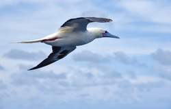 Seabird Masked, Blue-faced Booby (Sula dactylatra) flying over the ocean on the blue sky background. Seabird is hunting for flying fish jumping out of the water.