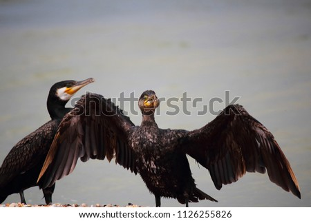 Seabird or Great Cormorant (лат. Phalacrocorax). This sea bird dives and catches fish. Selective focus, side view, very close-up, copy space