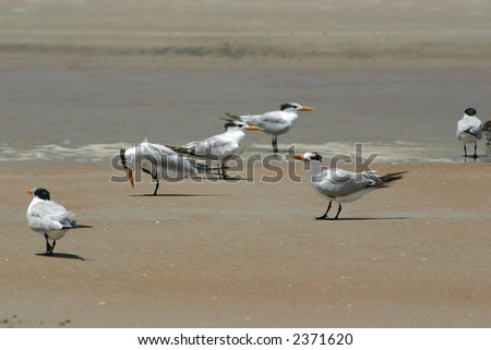 seabirds on Daytona Beach -  birds on the wet sand at the waters edge looking for food during low tide