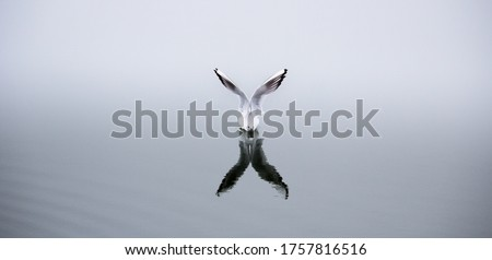 Seagul Refletions -A seagul preparing to Take Off Foto stock ©