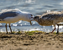 Seagull adult feeding its young seagull by the beach with a blur background water in their environment and habitat surrounding.