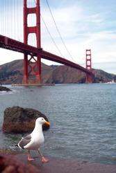 Seagull against the backdrop of a golden bridge in San Francisco walking along the promenade.
