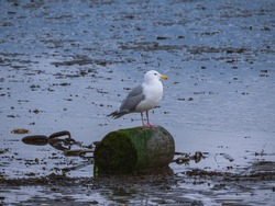 Seagull at a beach during low tide in Vancouver Canada.