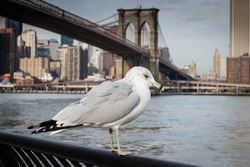 Seagull at  Brooklyn Bridge Park with the Brooklyn Bridge in the background