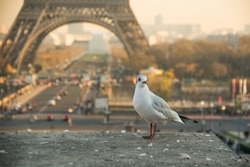 Seagull at sunset in front of Eiffel Tower in Paris, France.
