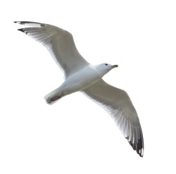 Seagull bird in flight isolated on white background.