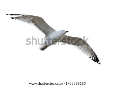 Photo of  Seagull bird in flight isolated on white background.