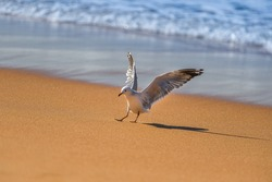 Seagull bird landing on the beach. Close up view of white bird seagull. Seagull standing on the sand.