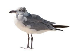 Seagull bird. Ocean or sea birds on white isolated background. Ornithology concept.