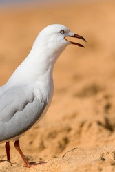 Seagull bird on the beach. Close up view of white bird seagull. Seagull standing on the sand.