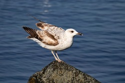 Seagull bird on the lake. Seagull in the water. Water life and wildlife. Birds flying and swims. Nature photography.