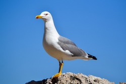 Seagull bird or seabird standing feet on sea beach. Close up view of white gray bird seagull in sea rock. Wild seagull portrait on natural blue sky background. Sea gull bird animal closeup isolated