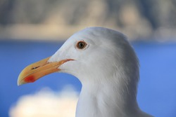 Seagull bird standing over the blue seashore, Close up of bird's eyes portrait, Uncontrolled rapid growth number of gulls causing nuisance attack and environment problem.