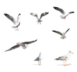 Seagull Birds Isolated on White Background