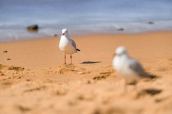 Seagull birds on the beach. Close up view of white seagulls. Two seagulls standing on the sand.