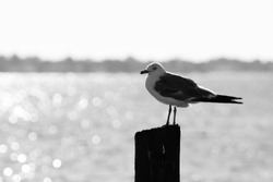 Seagull, black and white