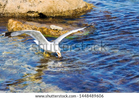 seagull catching a fish in flight over water #1448489606
