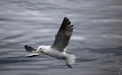 Seagull catching fish